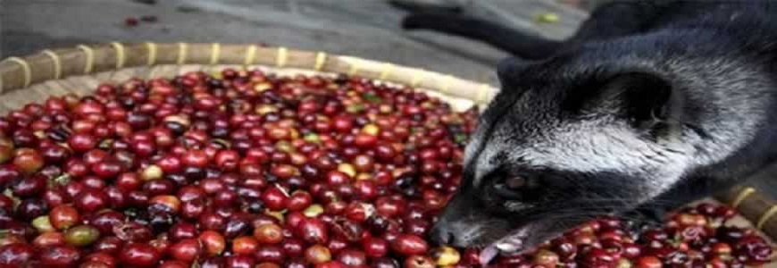 luwak coffee how to make
