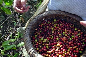 Bali Coffe Luwak