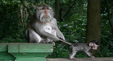 MONKEY UBUD MONKEY FOREST | SACRED MONKEY FOREST | BALI INTEREST PLACE